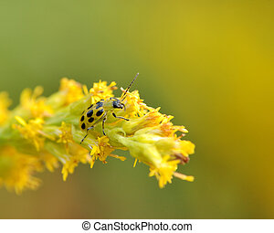 Spotted Cucumber Beetle perched on a yellow flower.
