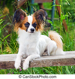 Papillon dog - Portrait young dog breed Papillon