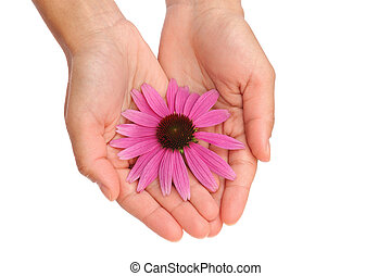 Hands of young woman holding Echinacea flower