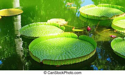victoria amazonica - closeup of a victoria amazonica plant...