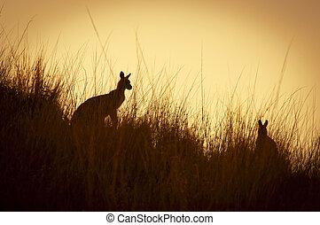 Kangaroo Silhouettes - Australian Kangaroos silhoutted at...