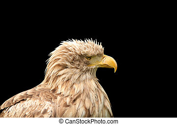 eagle isolated on black