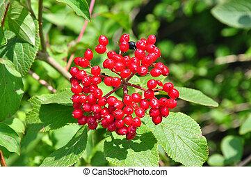 Wayfaring, árbol, (Viburnum, lantana)