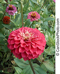 beautiful zinnia flower