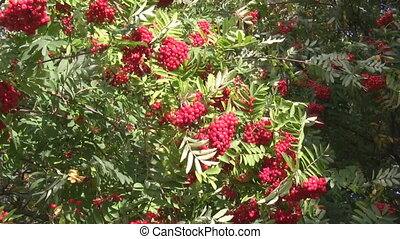 Green foliage red berries