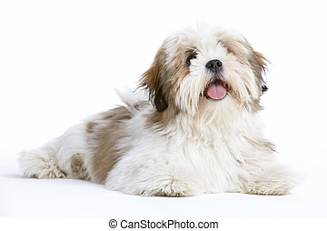 Lhasa Apso Dog Lying Down -