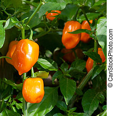 Habanero Pepper Capsicum Chinense - Mature habanero peppers...