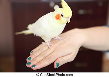 Cheeky Cockatiel parrot on hand