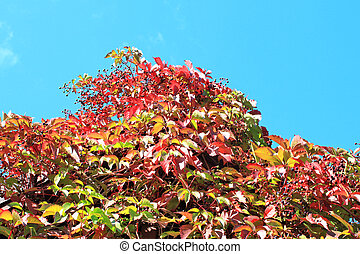 Autumn grapes and blue sky