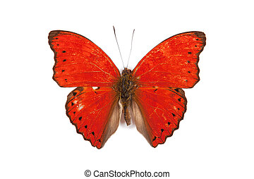 Black and red butterfly Cymothoe rouge isolated on white...