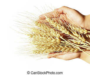 Wheat, children's, hands