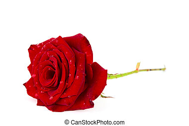Picture of Bleeding rose - Red rose with blood flowing out of its ...