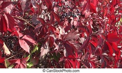 Vineyard, - vine leaves painted autumn.