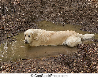 Dirty golden retriever dog taking a bath in the mud