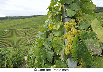 champagne grapes #1, epernay - white grapes and vine leaves...