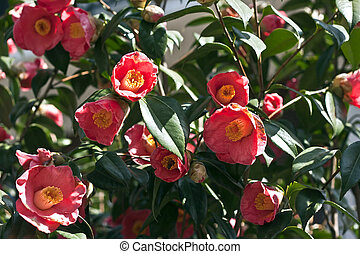 Camellia Fowers with bees - busy bees in some pink camellia...