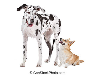 Harlequin Great Dane and aPembroke Welsh Corgi dog in front...
