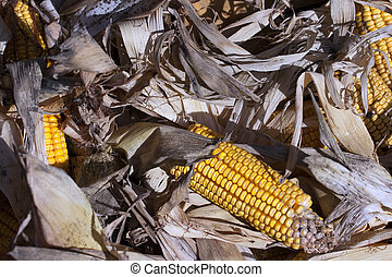 corn ears - Beautiful mature corn ears shortly after harvest...