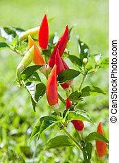 chili hot peppers plant in red and orange - chili hot...