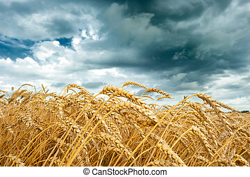 Wheat field at cloudy day