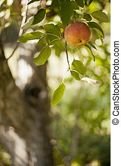 Apple on Tree - Jonathan apple hanging from a tree in an...