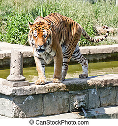 Walking tiger Panthera Tigris - The tiger Panthera tigris, a...