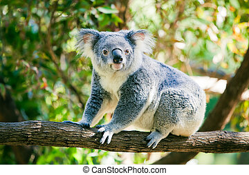 Cute koala in its natural habitat of gumtrees - Cute...