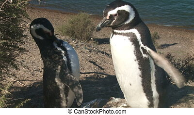 Couple of penguins - Couple of black footed penguins Tripod...