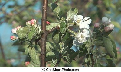 Blossoming apple tree - Close up shot of flowering...