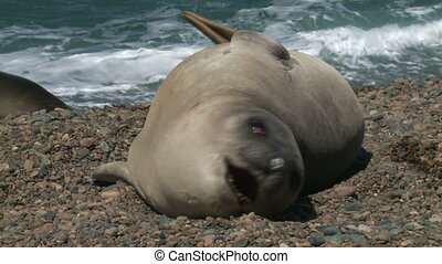 Fur seal - Argentinean fur seal is lying on the coastline of...