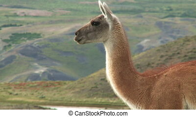 Chilean guanaco   - Chilean guanaco. Wildlife of Patagonia