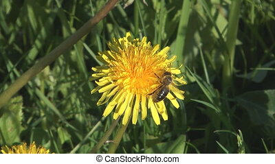 Bee on dandelion.