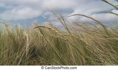 Grass in wind