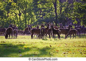Herd of red deer stags and hinds during rut season in Autumn...