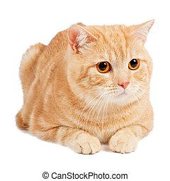 Red Scottish cat
