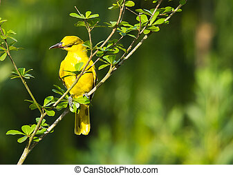 Black-naped oriole - the black-naped oriole perching on the...