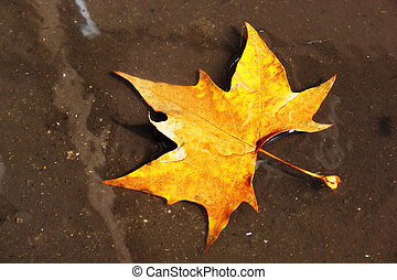 maple leaf in a puddle on the pavement