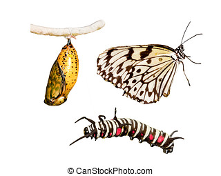 Metamorphosis life cycle - Metamorphosis (life cycle) of the...
