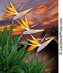 Bird of paradise flowers - Image and illustration...