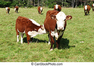 Cattle Grazing with Calf feeding