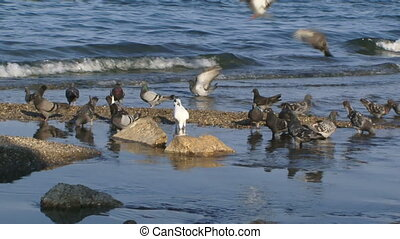 Seashore with pigeons - Pigeons gather food on the beach.