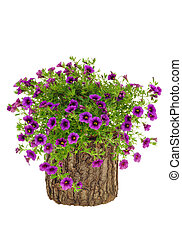 Petunia, Surfinia flowers on tree trunk over white...