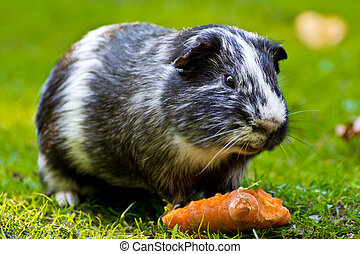 Guinea pig eating a carrot
