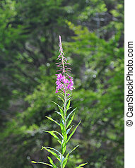 Rosebay Willowherb Epilobium angustifolium
