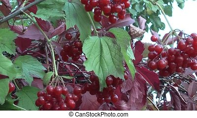 Arrowwood - red bush viburnum.