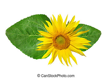 sunflower with green leaf isolated on white