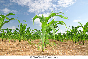 corn field  - Agricultural landscape of corn field