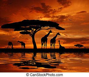 giraffe over sunset - herd of giraffes silhouetted against...