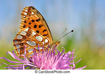butterfly Fabriciana aglaia sitting on a flower