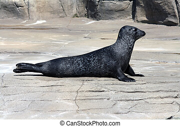 Common Seal Phoca Vitulina - A portrait of a Common Seal...